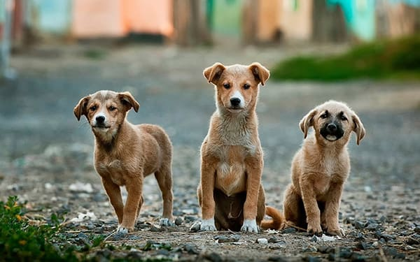 Three small Dogs looking ahead